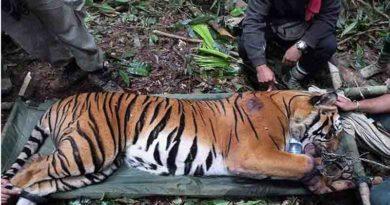 tiger dead