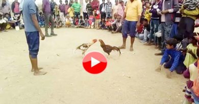 death fight of cock in moradabad up