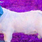 बकरी के विवाद में युवक की हत्या