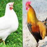 मुर्गे और मुर्गी की हत्या पर थाने में हंगामा मुकदमा दर्ज ,पोस्टमार्टम के लिए भेजा गया