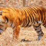 बाघ कर रहे इंसानों का शिकार, पीलीभीत में हाहाकार